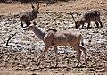 Female Kudu and Male Waterbucks around shrinking waterhole ... (50217734307).jpg