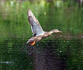Female Mallard on Lift Off.jpg