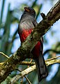 Female Slaty-Tailed Trogon.jpg
