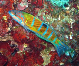 Female Thalassoma pavo