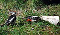Female great spotted woodpecker feeding young male (2613260692).jpg