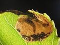 Fenusella glaucopis (14406809805).jpg
