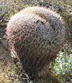 Ferocactus cylindraceus weird.jpg