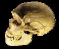 Ferrassie skull clear.png