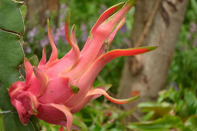 File:Festive Flora & Fauna Dragonfruit.JPG