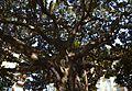 Ficus a la plaça de Gabriel Miró, Alacant.JPG
