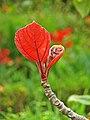 Ficus auriculata 03.jpg