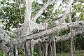 Ficus benghalensis 1zz.jpg