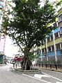 Ficus virens, Shau Kei Wan Main Street East (Hong Kong).jpg