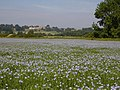 Field of Flax - geograph.org.uk - 382561.jpg