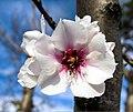 Fior di ciliegio invernale -.jpg