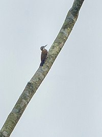 Fire-bellied Woodpecker - Ghana S4E1787 (16222859798).jpg
