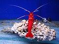 Fire shrimp.JPG