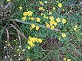 Fireweed (5067565156).jpg