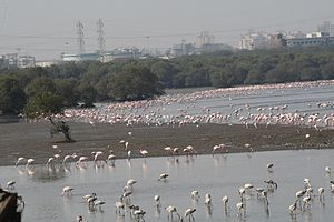 Mumbai Trans Harbour Link - Flamingos and other migratory birds at the Mahul-Sewri mudflats