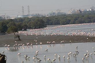 Mumbai Trans Harbour Link - Flamingos and other migratory birds at the Mahul-Sewri mudflats