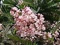 Flickr - João de Deus Medeiros - Pterodon pubescens (2).jpg