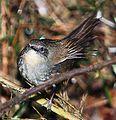 Flickr - Rainbirder - Ceylon bush warbler (Bradypterus palliseri) (cropped).jpg