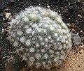 Flickr - brewbooks - Mammillaria geminispina Cactaceae (3).jpg