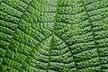 Flickr - ggallice - Leaf texture (5).jpg