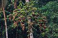 Flickr - ggallice - Yellow-rumped cacique colony.jpg