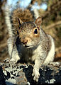 Flickr - law keven - Looking for Nuts....jpg