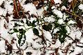 Flickr - ronsaunders47 - Holly ^ snow.jpg