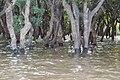 Flooded trees in Kampong Phlouk (4).jpg