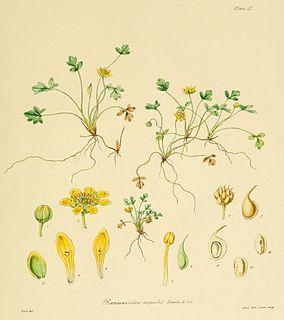 <i>Ranunculus acaulis</i> Species of flowering plant