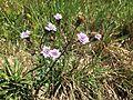 Flores branca-violetas.JPG