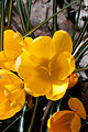 Flower, Crocus - Flickr - nekonomania.jpg