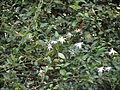 Flower, MULLAI 1.JPG