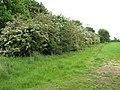 Flowering shrubs - geograph.org.uk - 1319337.jpg