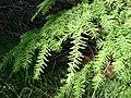 Foliage of Western Hemlock - geograph.org.uk - 1371579.jpg