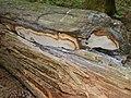 Fomitiporia tsugina Murrill 157379.jpg