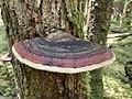 Fomitopsis mounceae.jpg