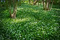 Forest covered with wild garlic (39884003160).jpg