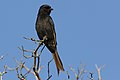 Fork-tailed Drongo, Dicrurus adsimilis, at Marakele National Park, Limpopo, South Africa (31836922287).jpg