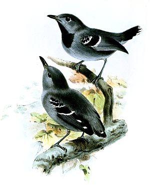 Band-tailed antwren - Illustration (above) (lower bird Myrmotherula hauxwelli)