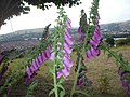 Foxgloves ^ view of Caerphilly - geograph.org.uk - 1939703.jpg