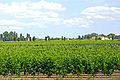 France-001834 - Grape Vines (15710788672).jpg