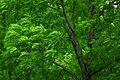 Fraxinus excelsior - leaves.jpg