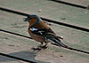 Fringilla coelebs -near Castleford, West Yorkshire, England -male-8.jpg