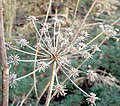 Frosted cow parsley - geograph.org.uk - 1204825.jpg