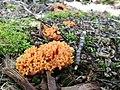 Fructiferación coraloide naranja.jpg