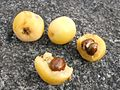 Fruit with seed of pittosporum undulatum.jpg