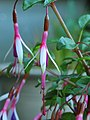 "Fuchsia magellanica ""Arauco""..JPG"