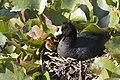 Fulica americana -Klamath Falls, Oregon, USA -nest-8.jpg