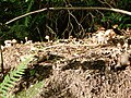 Fungi, Kennels Road, Torbay - geograph.org.uk - 864625.jpg
