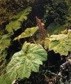 GUNNERA magellanica (Gunnéracées) Rhubarbe géante-Venezuela.tif